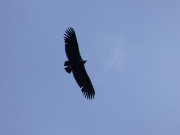 Eurasian Black Vulture  - Serafín Alarcón