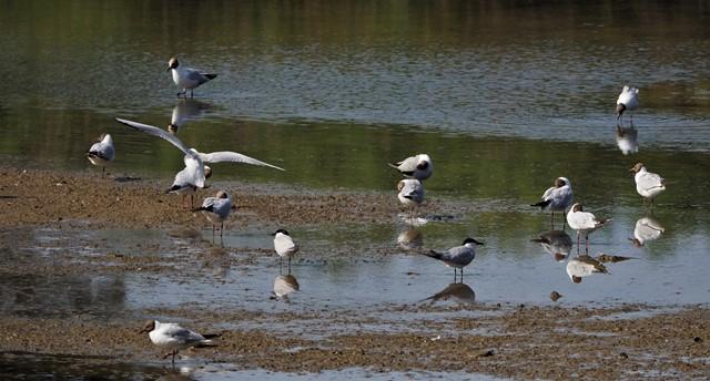 Gull-billed Tern  - Alejandro Rodríguez