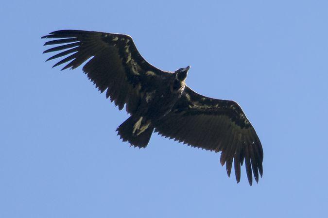 Eurasian Black Vulture  - Koldo Lizundia