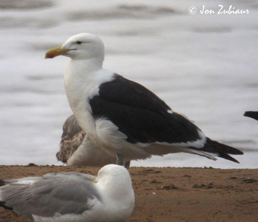 Kelp Gull  - Jon Zubiaur