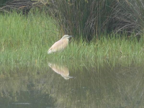 Squacco Heron  - David Santamaría