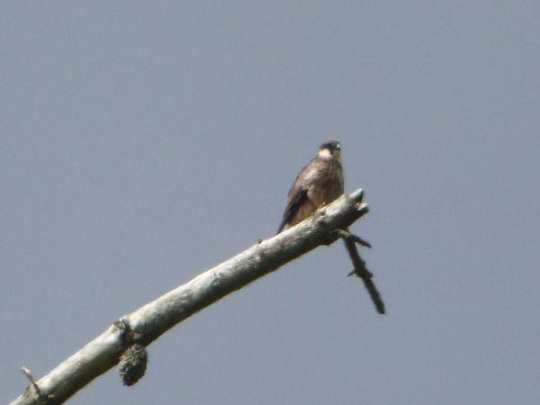 Eleonora's Falcon  - Serafín Alarcón