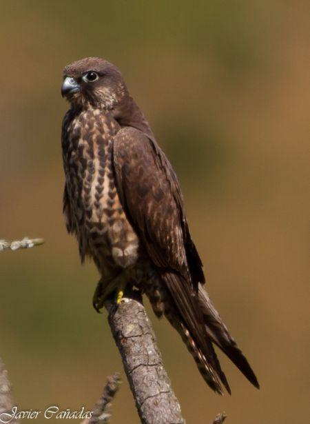 Eleonora's Falcon  - Javier Cañadas