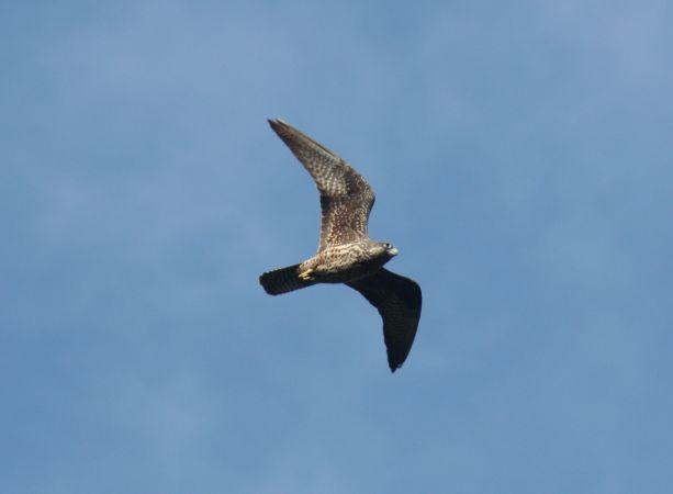Eleonora's Falcon  - Eneko Iturregi