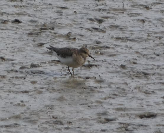 Temminck's Stint  - David Santamaría