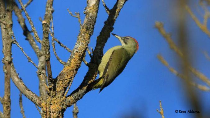 European Green Woodpecker  - Kepa Aldama
