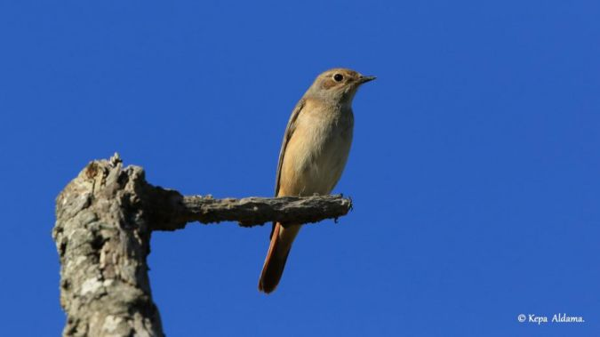 Common Redstart  - Kepa Aldama