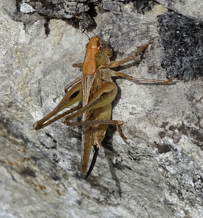 Grey Bush-cricket  - Iker Novoa
