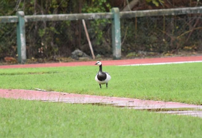 Barnacle Goose  - Paul Ortuzar