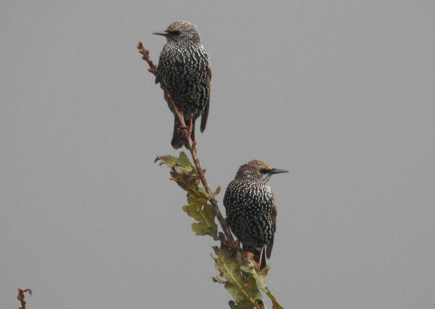 Common Starling  - Ekoetxea Urdaibai