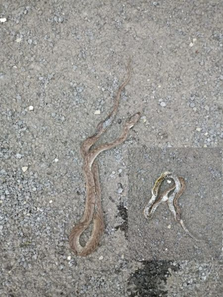 Southern Smooth Snake  - Serafín Alarcón