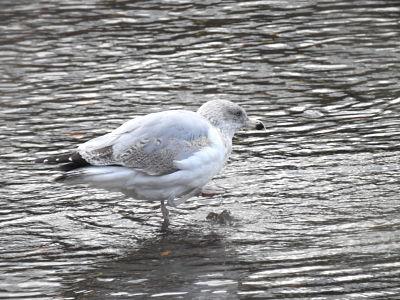 European Herring Gull (L.a.argenteus)  - Nekane Garcia