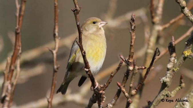European Greenfinch  - Kepa Aldama
