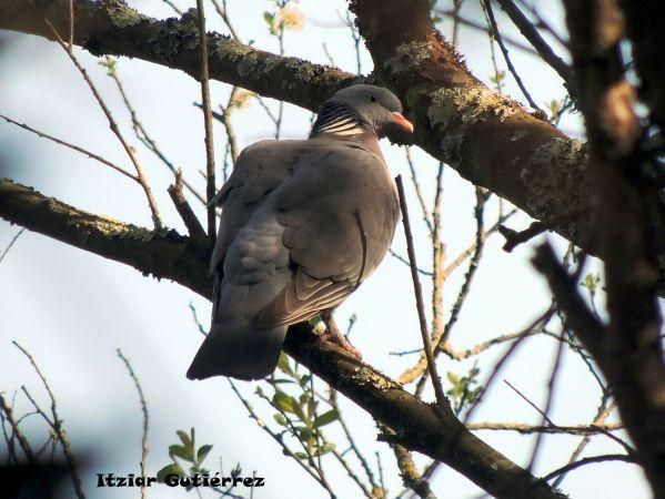 Common Wood Pigeon  - Itziar Gutiérrez