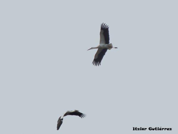 White Stork  - Itziar Gutiérrez