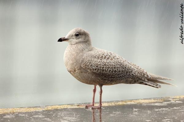 Iceland Gull  - Alfredo Valiente