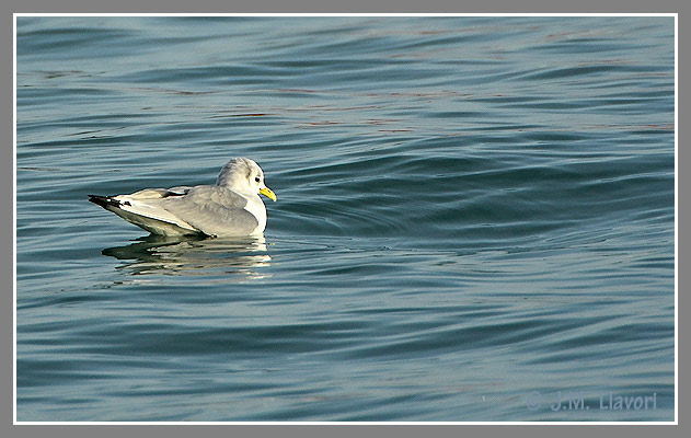 Black-legged Kittiwake  - Jose Maria Llavori Romatet
