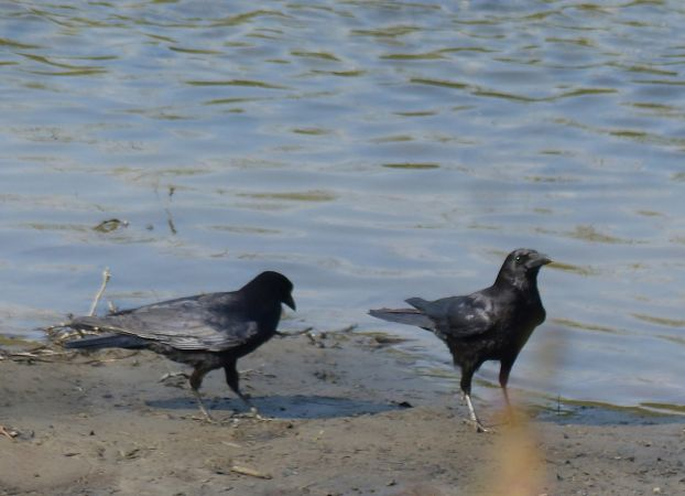 Carrion Crow  - Elena Vázquez Bielsa