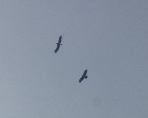 Short-toed Snake Eagle  - Alexander Carriel
