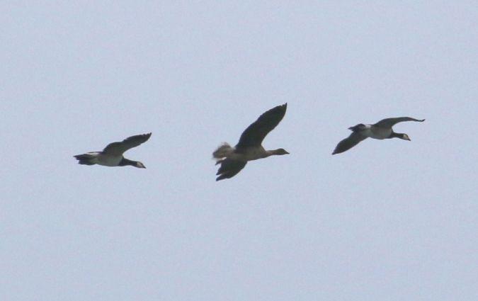 Pink-footed Goose  - Asier Aldalur