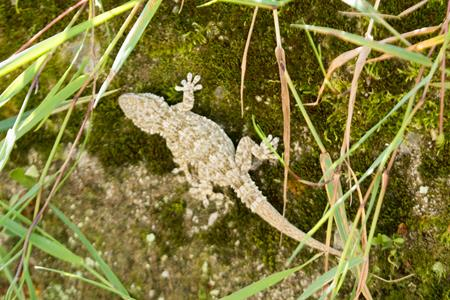 Common wall gecko  - Joseba Otaegi