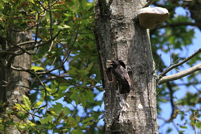 Common Starling  - Nekane Garcia