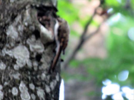 Eurasian Treecreeper  - Carmelo de Dios
