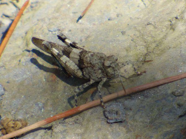 Blue-winged Grasshopper  - Serafín Alarcón