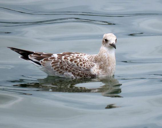 Mediterranean Gull  - Amaia Alzaga