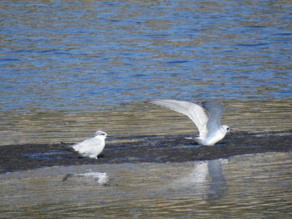 Gull-billed Tern  - José F. Esparcia