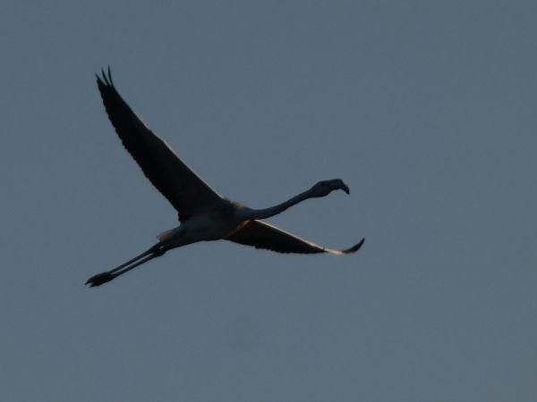 Greater Flamingo  - David Santamaría