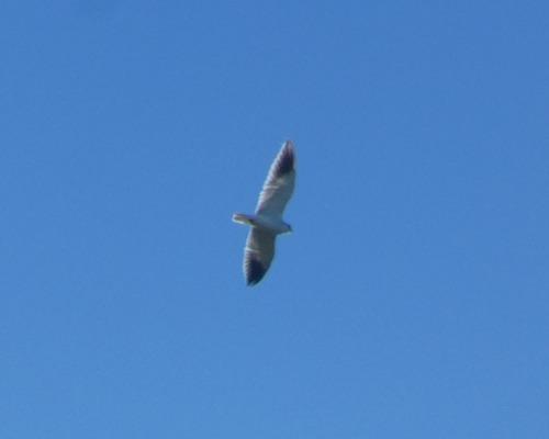 Black-winged Kite  - Alexander Carriel