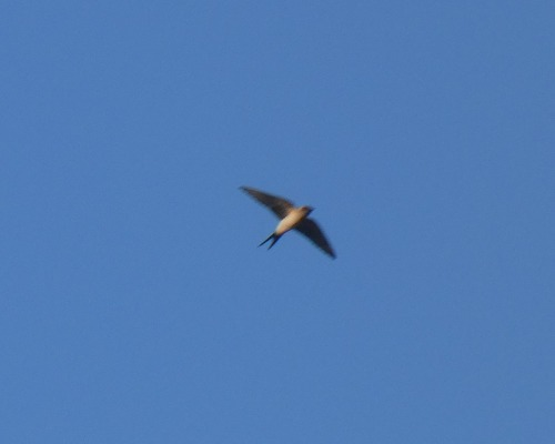 Red-rumped Swallow  - Alexander Carriel