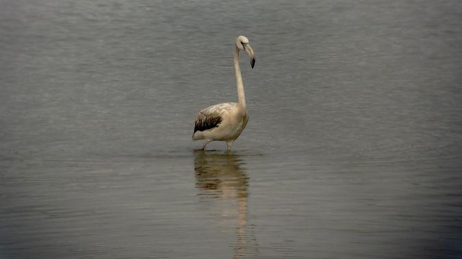 Greater Flamingo  - Urdaibai Bird Center