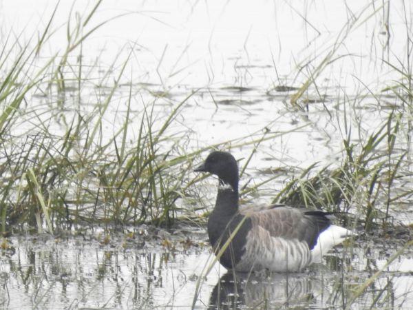 Pale-bellied Brant Goose  - José F. Esparcia