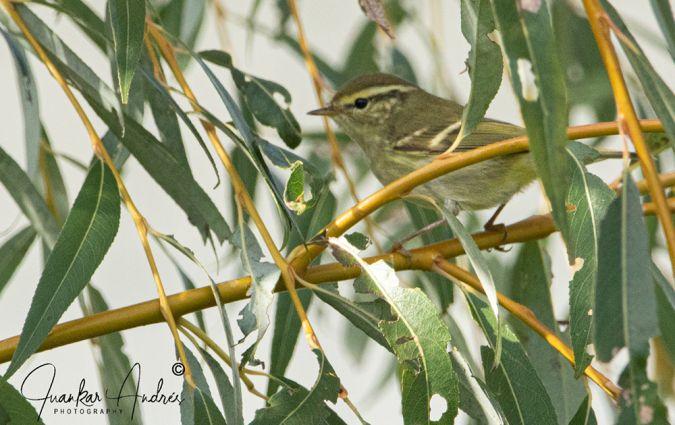 Yellow-browed Warbler  - Juan Carlos Andrés