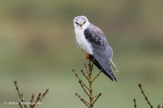 Black-winged Kite  - Bittor Mutiozabal
