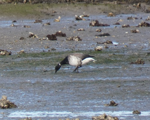 Pale-bellied Brant Goose  - Alexander Carriel