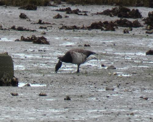 Pale-bellied Brant Goose  - Alexander Carriel