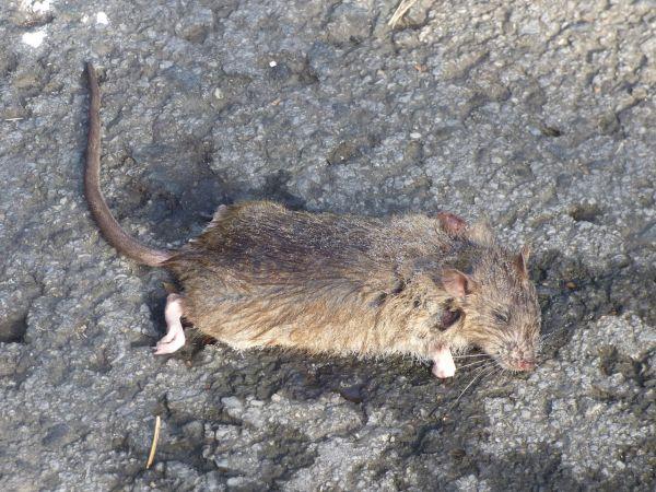 Brown Rat  - Serafín Alarcón