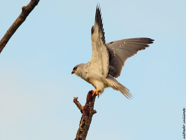 Black-winged Kite  - Alfredo Valiente