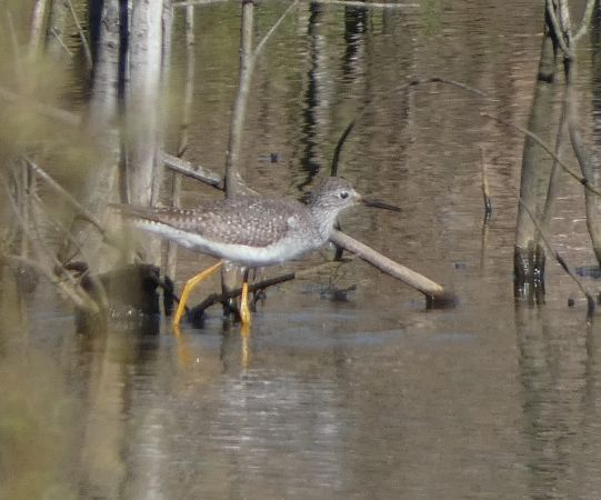 Lesser Yellowlegs  - David Santamaría