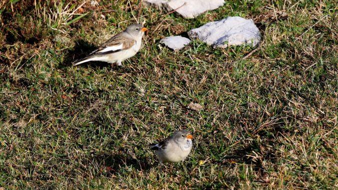 White-winged Snowfinch  - Kepa Aldama