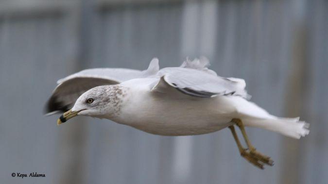 Ring-billed Gull  - Kepa Aldama