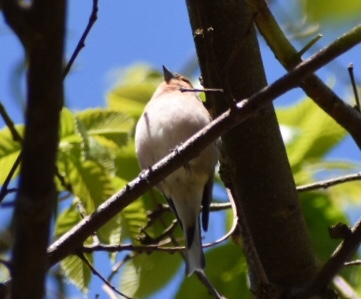 Eurasian Bullfinch  - Josian Bereziartua