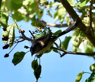 Long-tailed Bushtit  - Josian Bereziartua