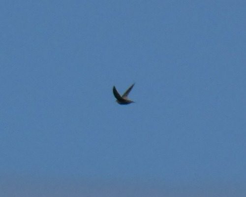 Pallid Swift  - Alexander Carriel