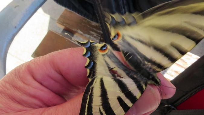 Scarce Swallowtail  - Jose Manuel Unanue
