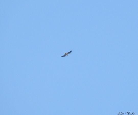 Egyptian Vulture  - Aitor Urrutia
