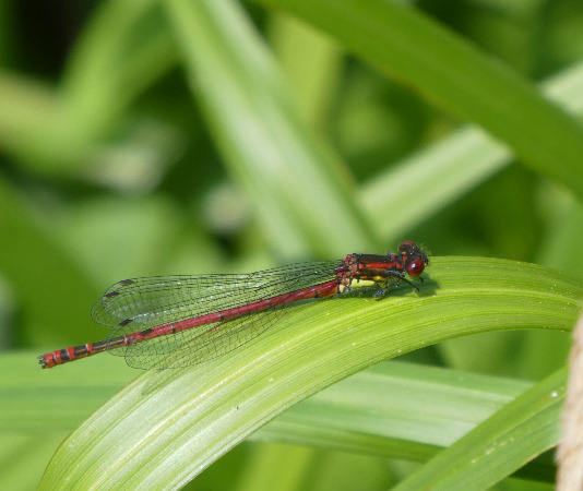 Large Red Damsel  - Begoña Nogueiras